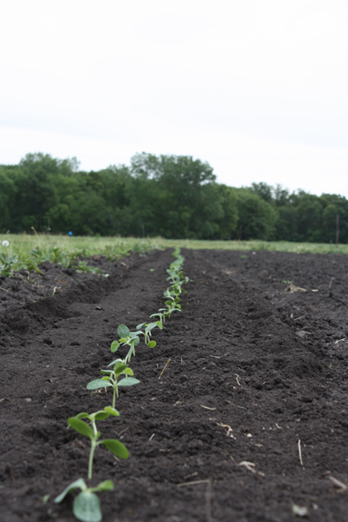 row of seedlings