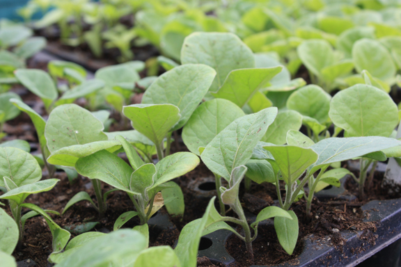 Eggplant seedlings