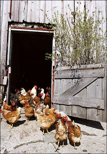 chickens by the barn door by Brandon Pollock