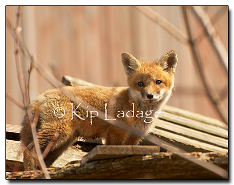 fox kit by Kip Ladage