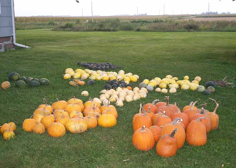 pumpkins and squash in the yard
